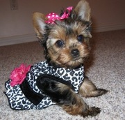 Yorkie puppies for great homes