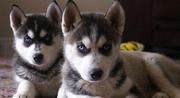 Siberian Husky Pups,  AKC